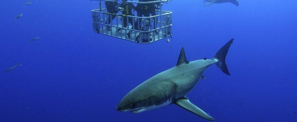 Great white shark  | Great white shark | Viajes Planeta Azul