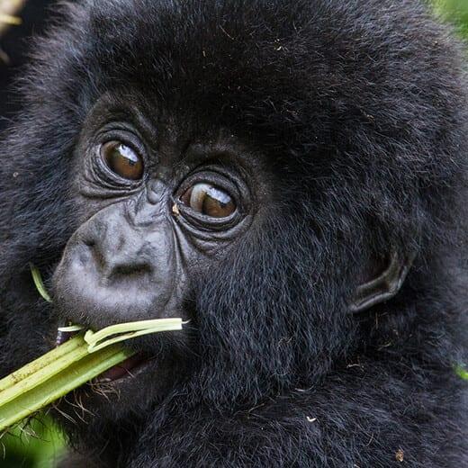 Mountain Gorillas | Viajes Planeta Azul