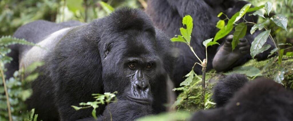 Gorilas de Montaña | Gorilas de Montaña | Viajes Planeta Azul