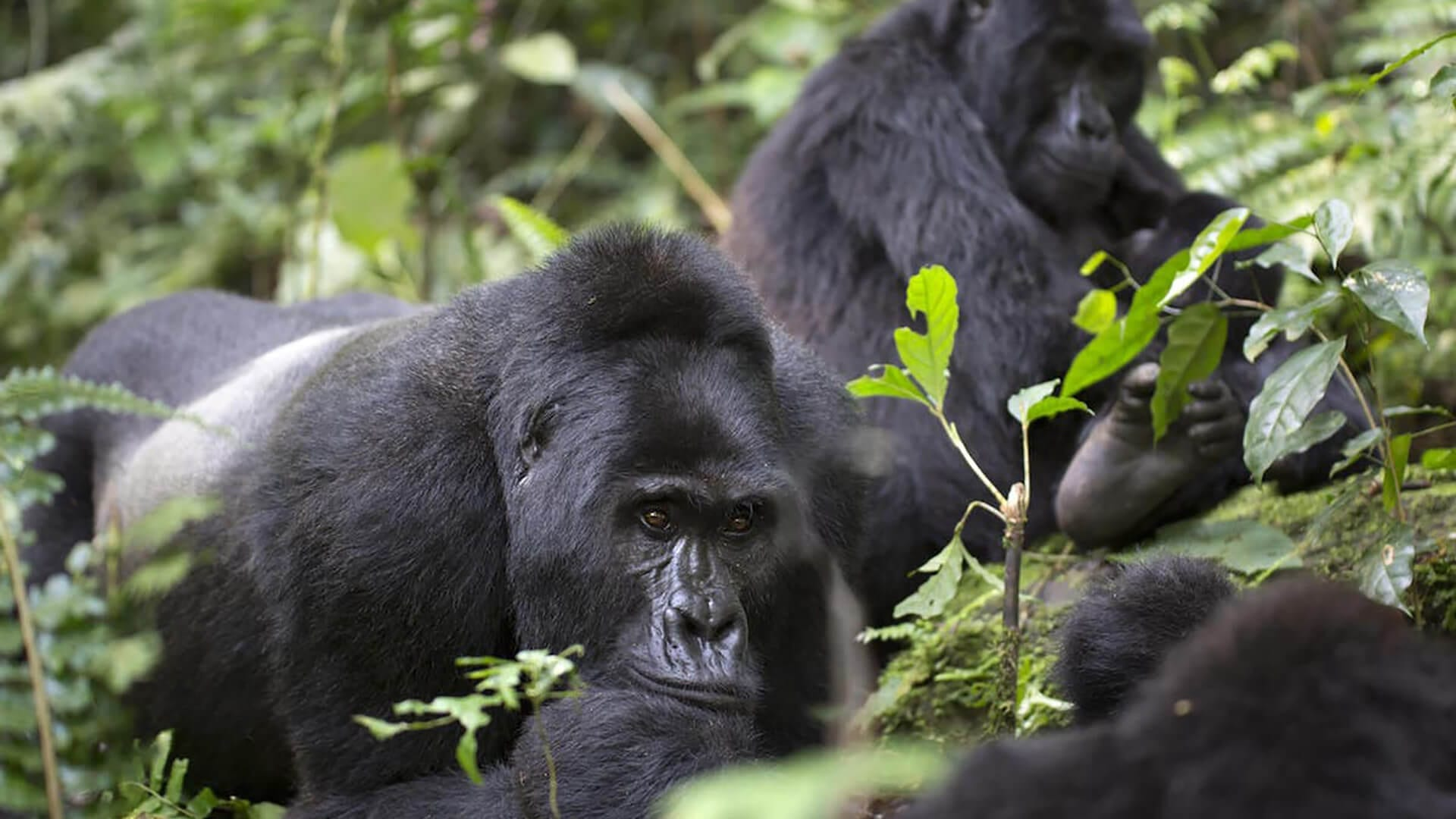gorilas de montaña | Viajes Planeta Azul