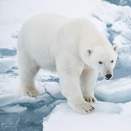 Osos Polares | Viajes Planeta Azul