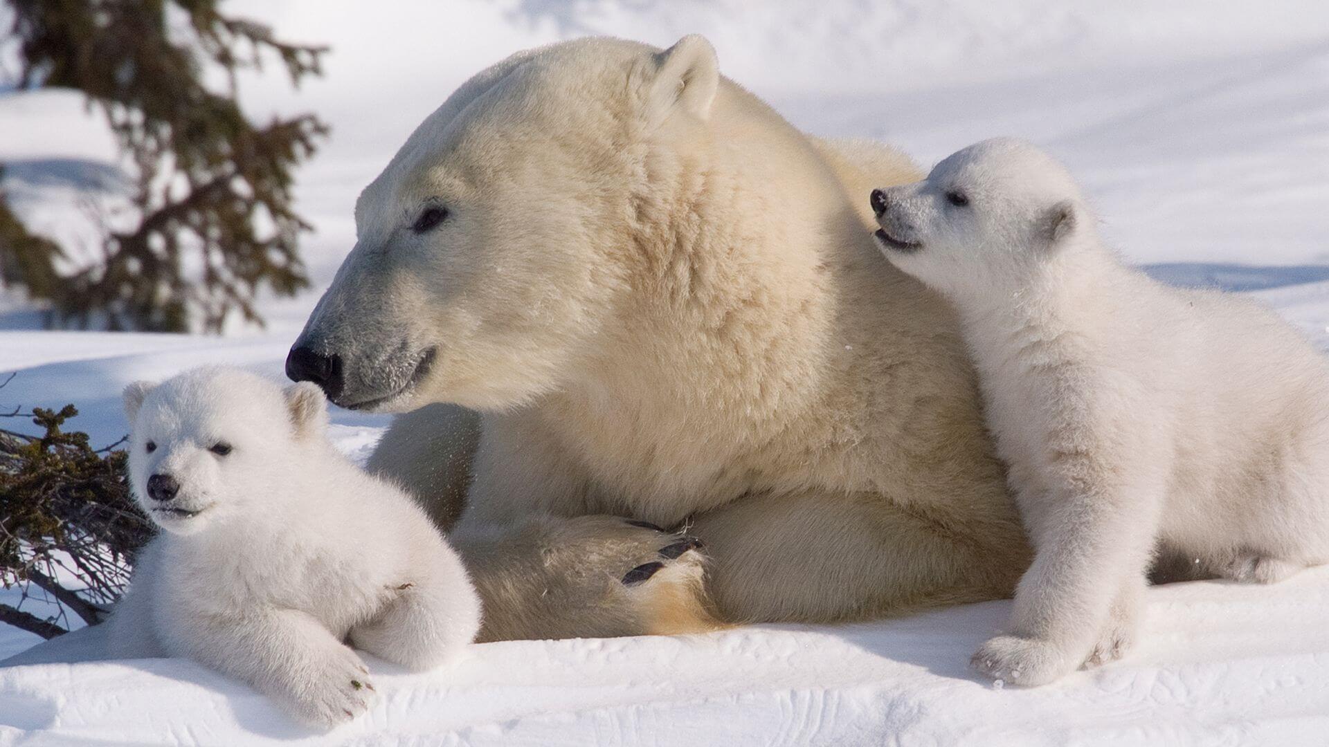 Safari Osos Polares | Viajes Planeta Azul
